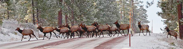 elk crossing highway